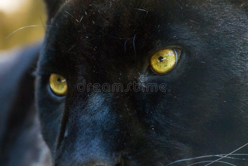 Zwarte Panter Gratis Stock Afbeeldingen