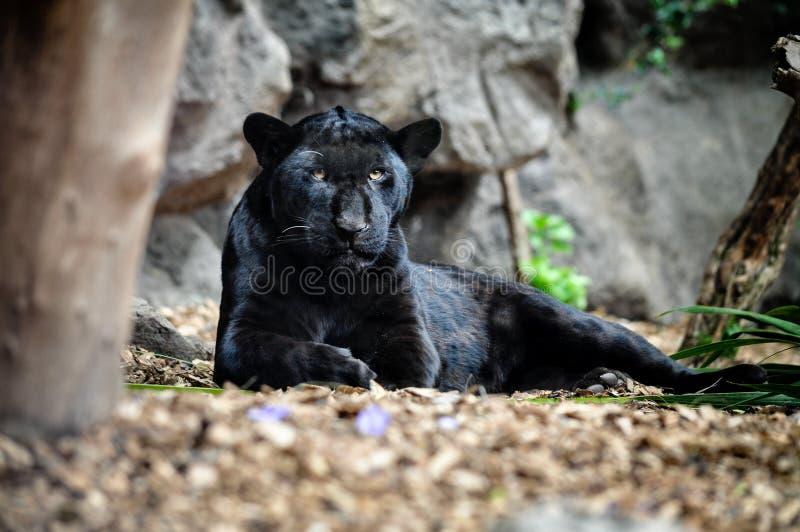 Zwarte panter die op de grond en het kijken liggen stock foto