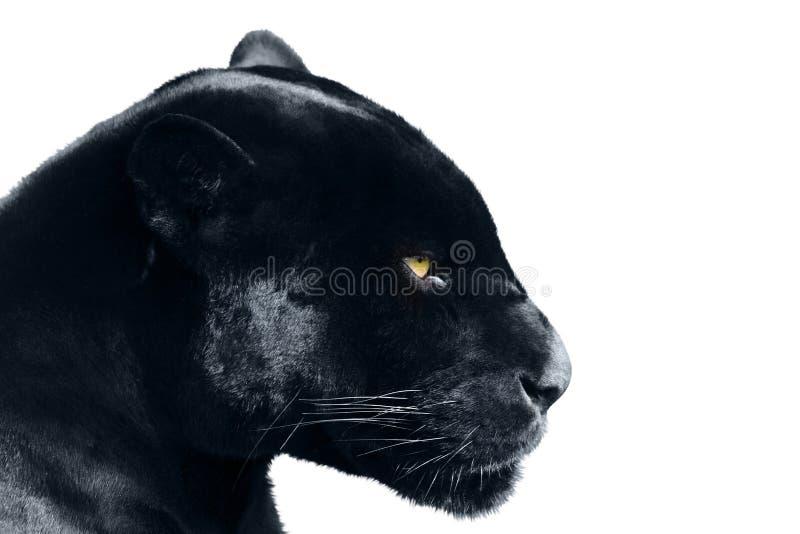 Zwarte panter op een witte achtergrond stock foto's