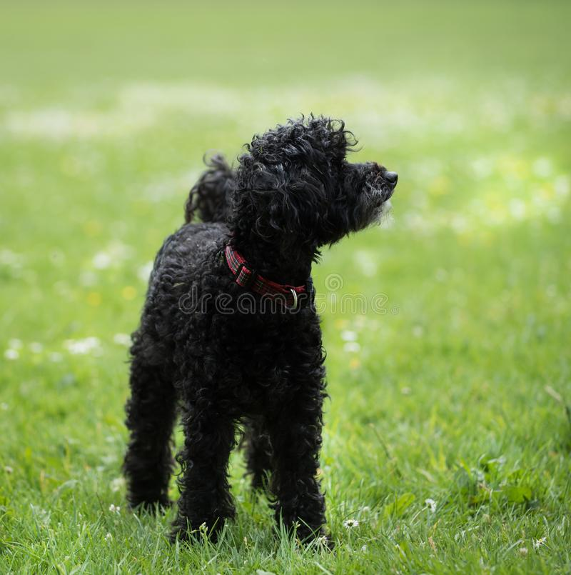 Zwarte poedel die op gras in een park blijven stock fotografie