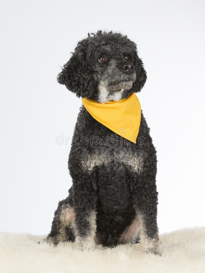 Zwarte poedel met sjaal royalty-vrije stock foto