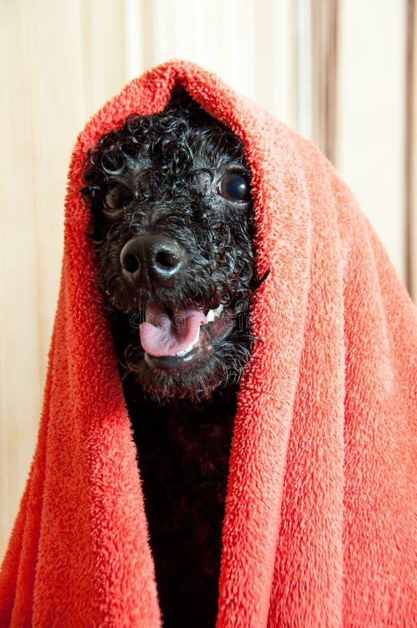 Zwarte poedel na het baden stock foto