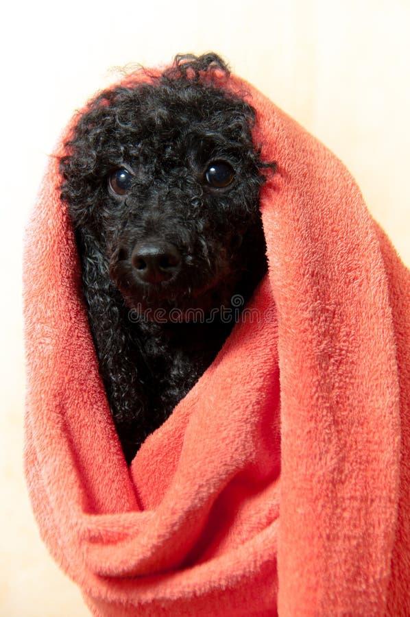 Zwarte poedel na het baden royalty-vrije stock foto