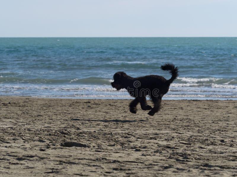 Zwarte poedelhond die snel op het strand lopen stock fotografie