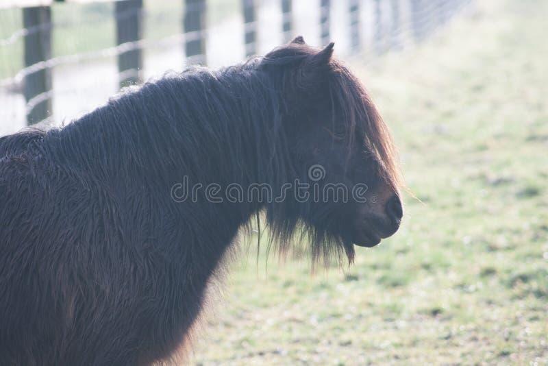 Zwarte poney die zich in een weide bevinden stock afbeeldingen