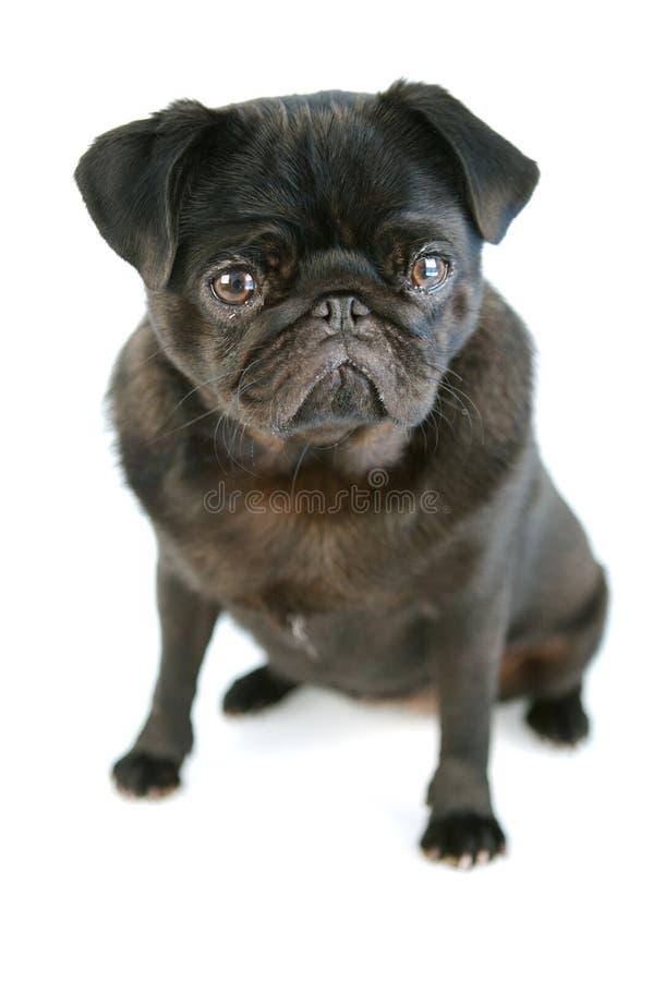Zwarte Pug stock afbeeldingen