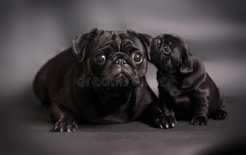 Zwarte pug hond met puppy royalty-vrije stock fotografie