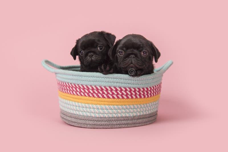 Zwarte pug puppy in een kleurrijke mand op een roze achtergrond royalty-vrije stock afbeeldingen