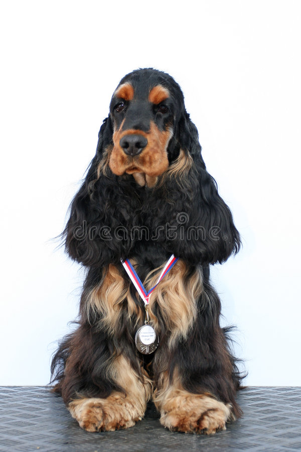 Zwarte puppy Engelse cocker royalty-vrije stock foto