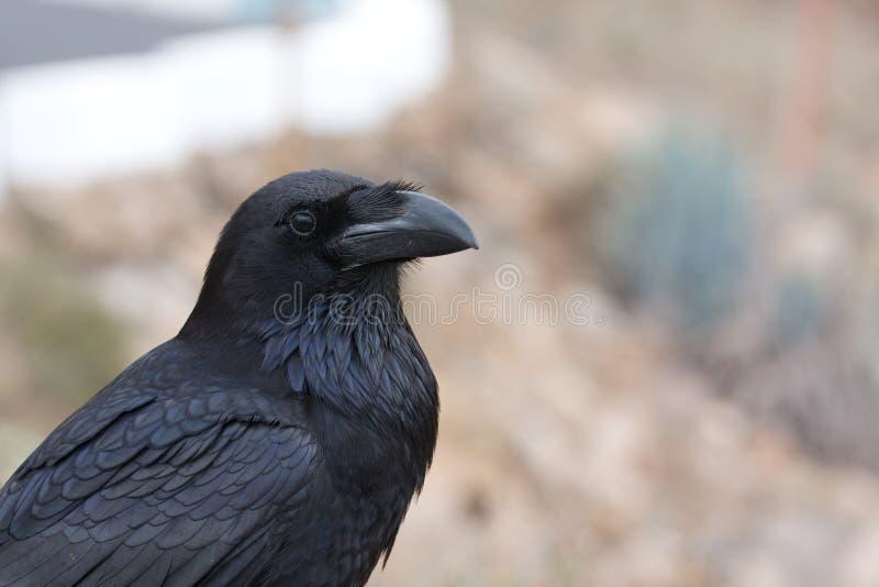 Zwarte raaf royalty-vrije stock afbeeldingen