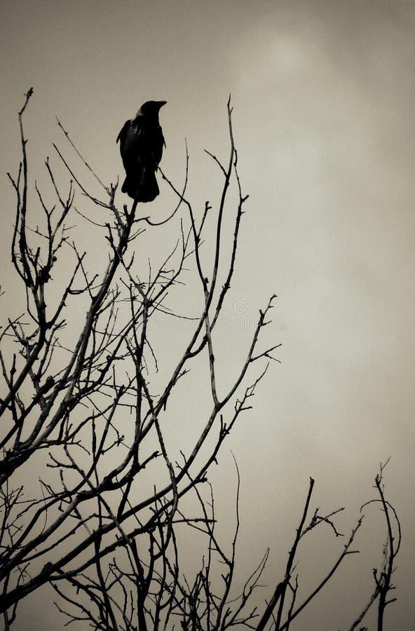 Zwarte raaf stock foto