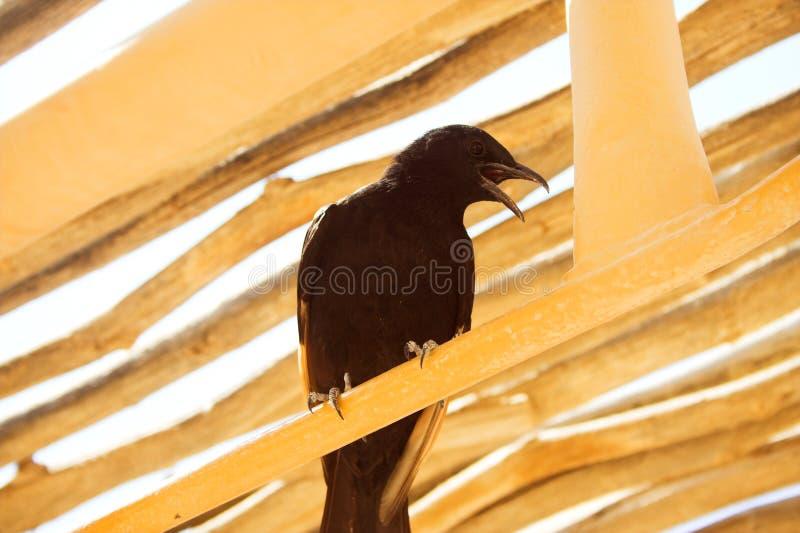 Zwarte raaf dichte omhooggaand stock foto