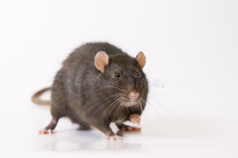 Zwarte rat stock foto's