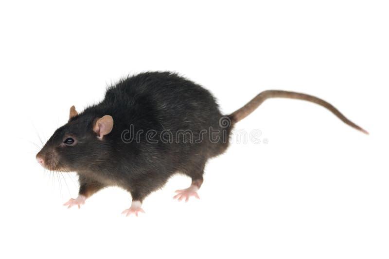 Zwarte rat royalty-vrije stock afbeeldingen