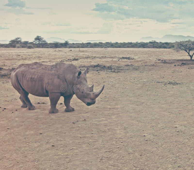 Zwarte rhino in de natuurlijke habitat van Namibië royalty-vrije stock foto's