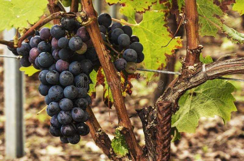 Zwarte rijpe druiven op de wijnstok stock foto's