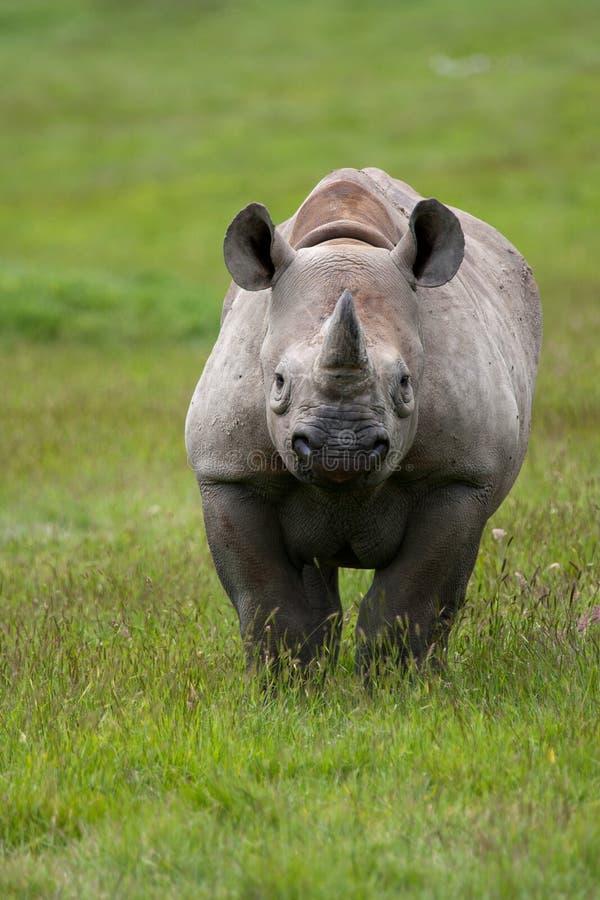 Zwarte Rinoceros (bicornis Diceros) royalty-vrije stock fotografie