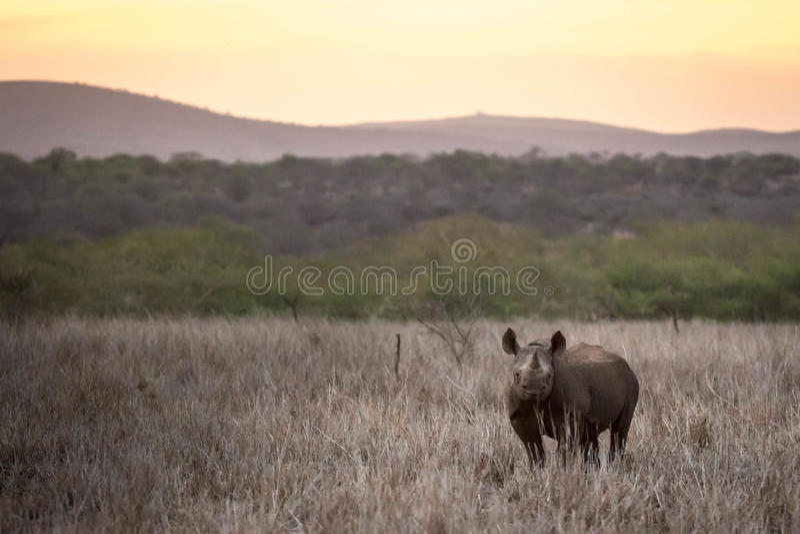 Zwarte rinoceros bij zonsondergang royalty-vrije stock afbeelding