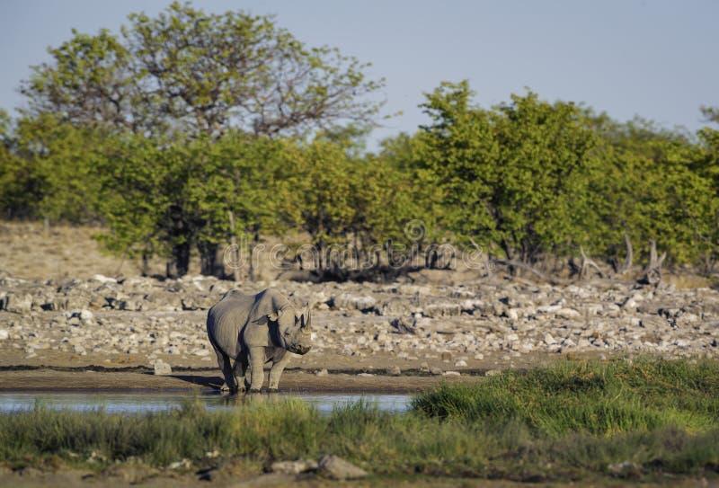 Zwarte Rinoceros - Diceros-bicornis stock fotografie