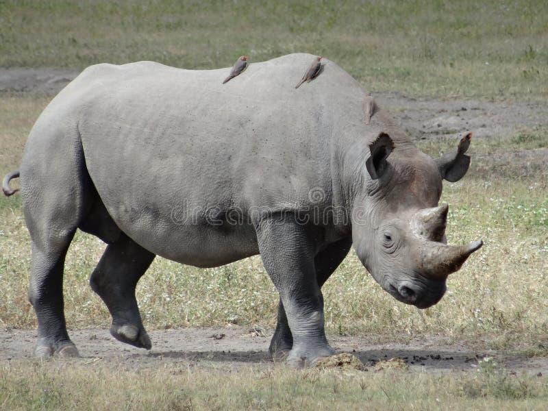 Zwarte rinoceros die op de savanne die van Afrika lopen net onder ogen zien stock foto