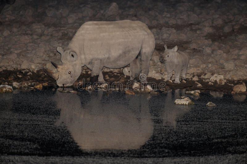 Zwarte rinoceros met kereltje op waterhole royalty-vrije stock afbeeldingen
