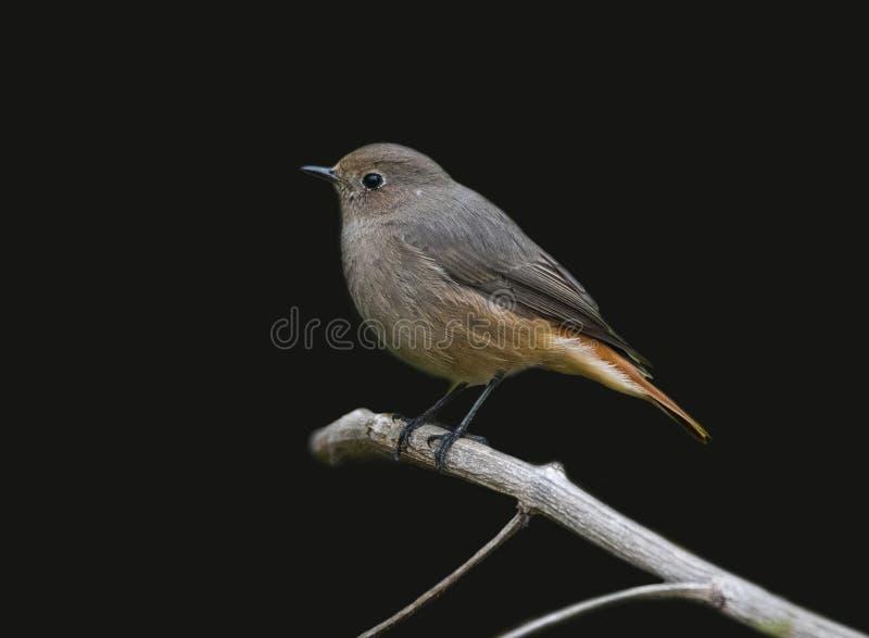 Zwarte rood-begin vrouwelijke vogel die op het boomtakje neerstrijken stock afbeelding