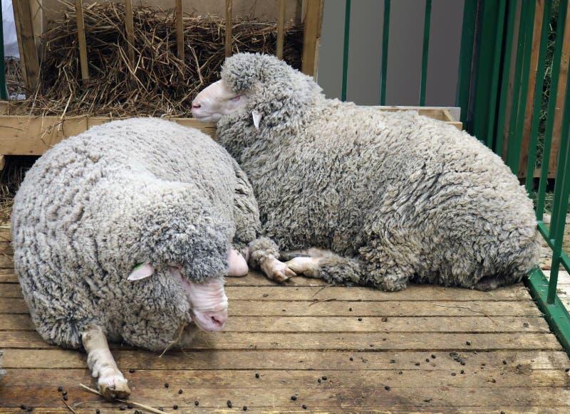 Zwarte schapen binnenlandse merinosschapen stock fotografie