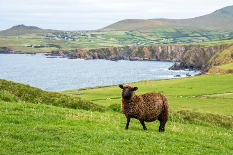 Zwarte schapen en het Hoofdlandschap van Slea royalty-vrije stock afbeeldingen
