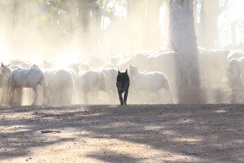 Zwarte schapenhond in tegenstelling tot de bleekheid van geschoren schapen stock foto