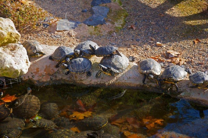 Zwarte schildpadden die zon in de waterkant van kleine vijver hebben stock fotografie