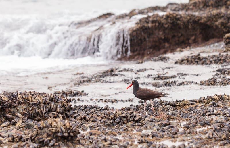 Zwarte scholekstershorebird Haematopus royalty-vrije stock foto's