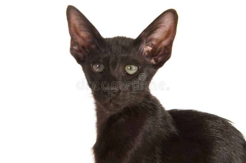 Zwarte Siamese Kat Stock Foto