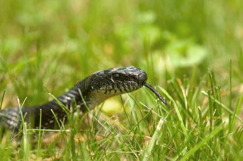 Zwarte slang in het gras stock foto