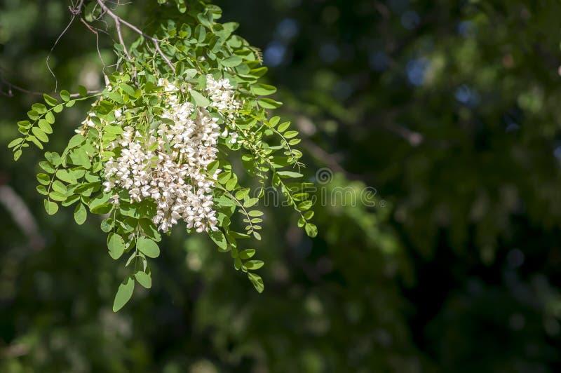 Zwarte sprinkhaan, robiniapseudoacacia, of valse acaciabloemen stock fotografie