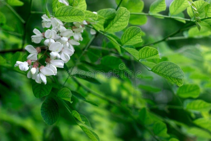 Zwarte Sprinkhaan, Valse Acacia of Robinia-pseudoacacia die, selectieve nadruk bloeien royalty-vrije stock foto