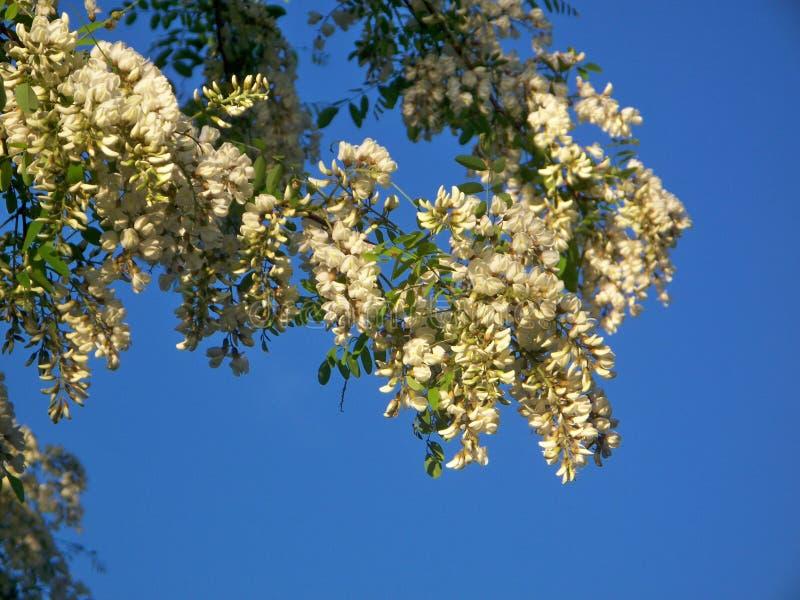 Zwarte Sprinkhanenboom in Bloei royalty-vrije stock foto