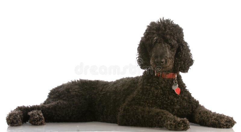 Zwarte standaardpoedel royalty-vrije stock foto's