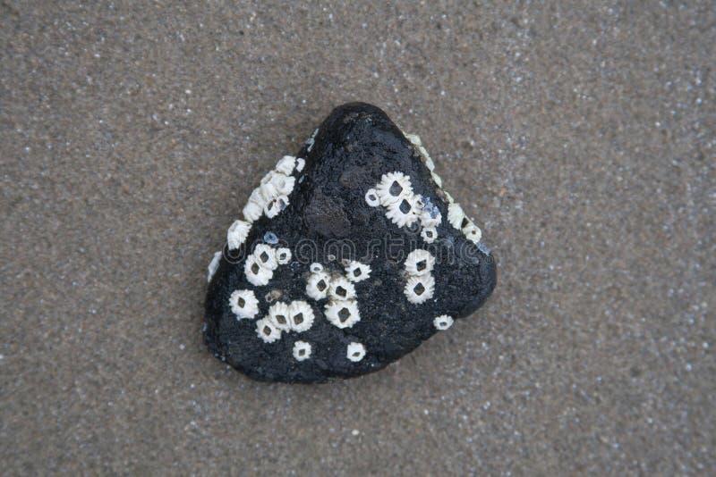Zwarte steen met eendenmosselshells royalty-vrije stock fotografie