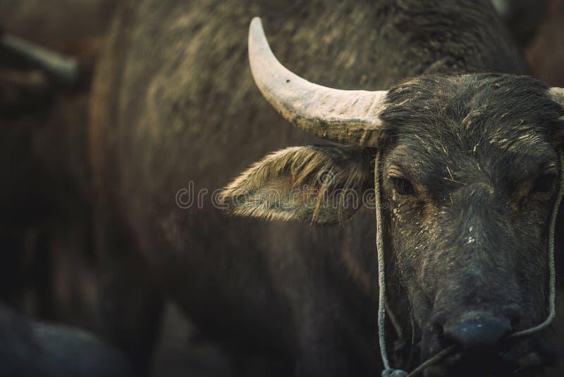 Zwarte Stier stock fotografie