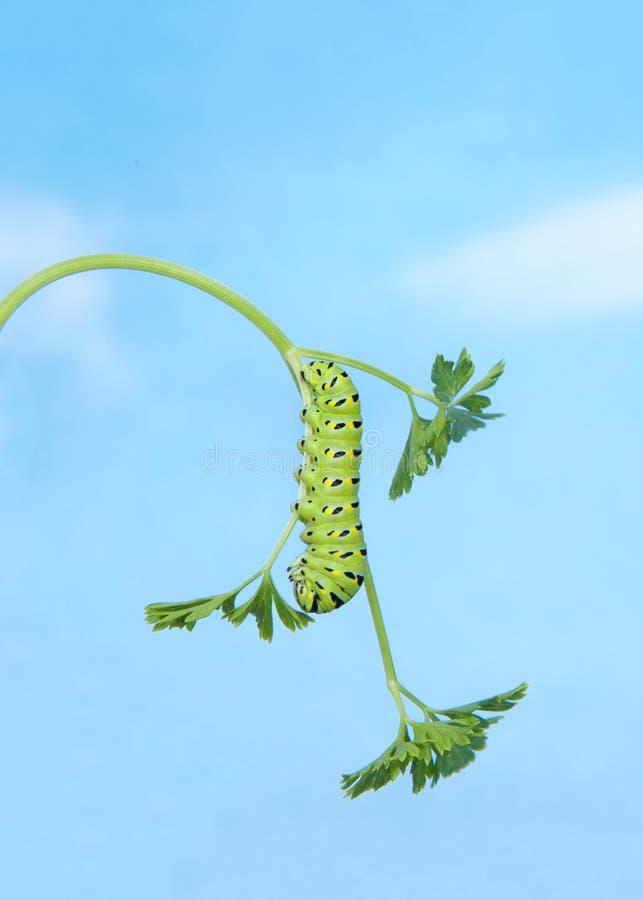 Zwarte Swallowtail Caterpillar op peterseliebovenkant - neer royalty-vrije stock afbeelding