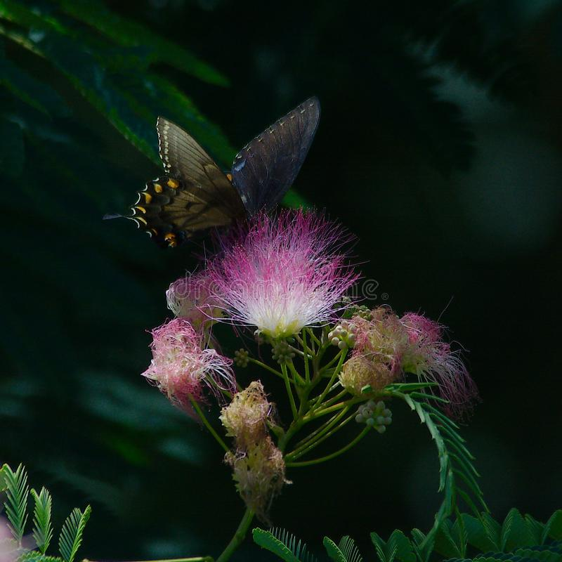 Zwarte Swallowtail op Mimosaboom stock afbeelding