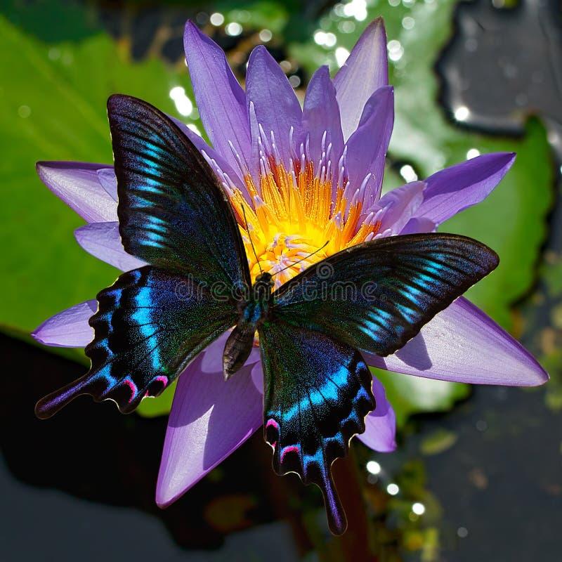 Zwarte swallowtail of papiliomaackiivlinder op een waterlelie stock foto