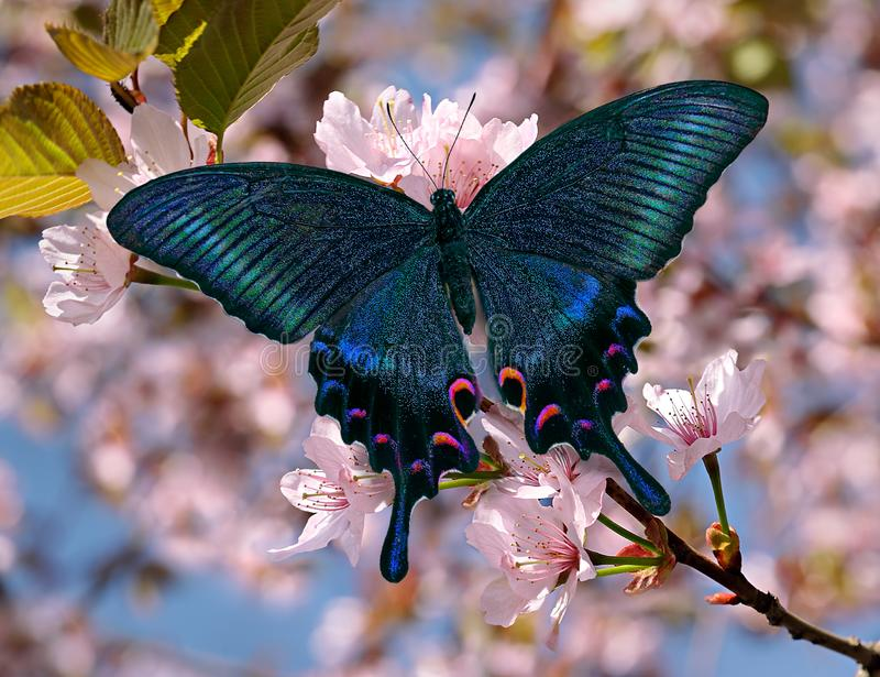 Zwarte swallowtail of papiliomaackiivlinder op oosterse kersenbloesem stock afbeelding