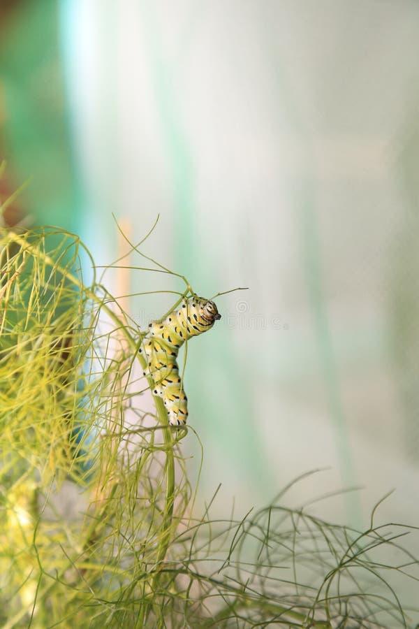 Zwarte Swallowtail-rupsband die venkel eten stock afbeeldingen
