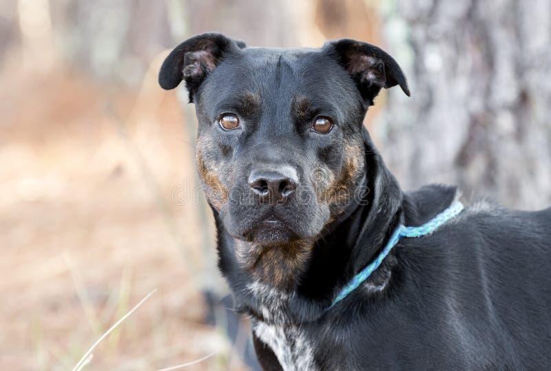 Zwarte Tan Rottweiler Pitbull gemengde rassen vrouwelijke hond royalty-vrije stock afbeelding