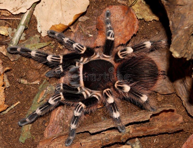 Zwarte tarantula stock foto's