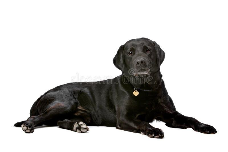 Zwarte tien jaar van oud Labrador royalty-vrije stock afbeelding