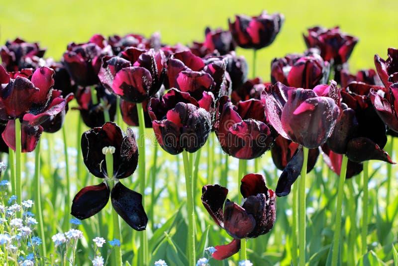 Zwarte tulpen in mijn tuin stock afbeelding