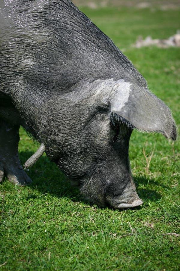 Zwarte varkens stock afbeelding