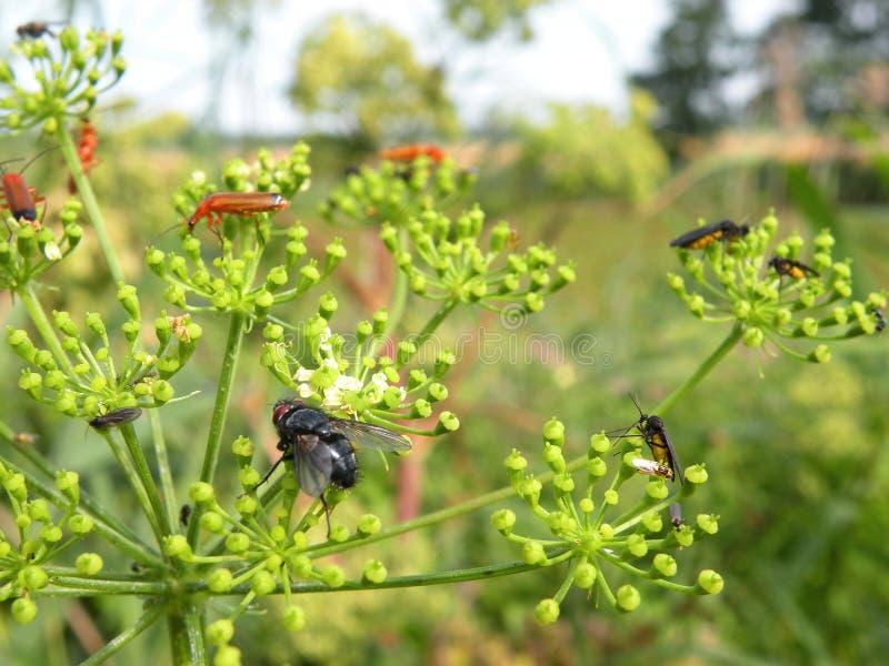 Zwarte vlieg en anderen insect op groene installatie, Litouwen stock foto's